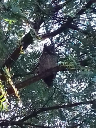 Ñacurutú/great Horned Owl