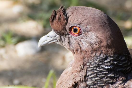 Paloma picazurò/Picazuro Pigeon