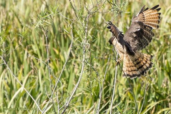 Taguatò comùn/Roadside Hawk