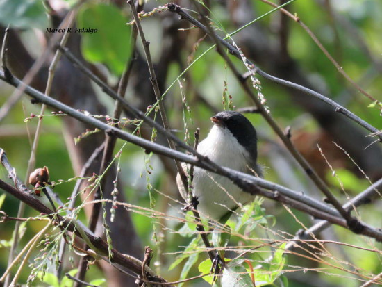 Moterita cabeza negra/Black-capped Warbling-Finch