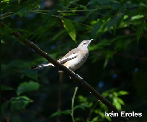 Calandria real/White-banded Mockinbird