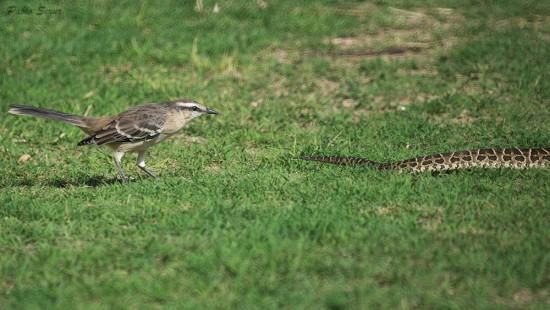 Calandria-yarará/Mockingbird-Viper