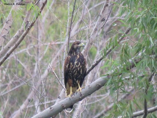 Gavilán mixto/Harris's Hawk