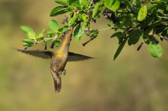 Picaflor bronceado/Gilded Hummingbird