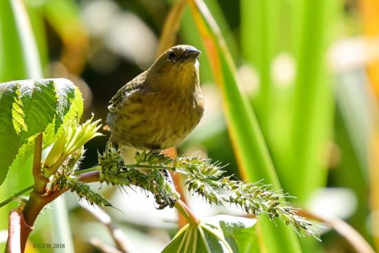 Varillero congo/Chestnut-capped Balckbird