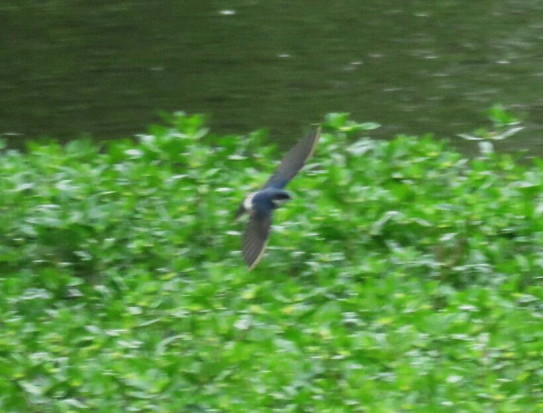 Golondrina patagónica/Chilean Swallow