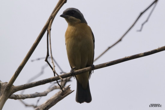 Saíra de antifaz/Fawn-breasted Tanager