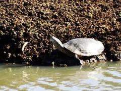 Tortuga de laguna/Phrynops hilarii