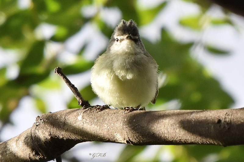 Piojito común/White-crested Tyrannulet